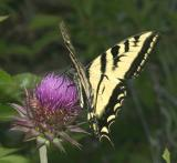 Western Tiger Swallowtail - Papilio rutulus