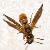 Ancistrocerus tuberculocephalus
