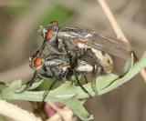 Fox Maggot Flies - Wohlfahrtia vigil (mating pair)