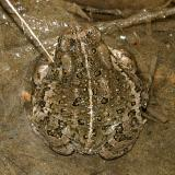 Woodhouse's Toad - Anaxyrus woodhousii