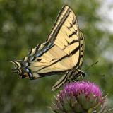 Two-tailed Swallowtail - Papilio multicaudata)