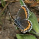 Melissa Blue - Plebejus melissa (female)