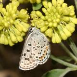 Rocky Mountain Square-spotted Blue - Euphilotes centralis