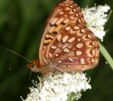 Hesperis Fritillary - Speyeria hesperis hesperis