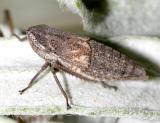 Errhomus montanus
