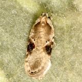 0874.1 - Poison Hemlock Moth - Agonopterix alstromeriana