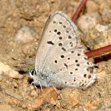 Greenish Blue - Plebejus saepiolus