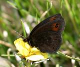 Common Alpine - Erebia epipsodea