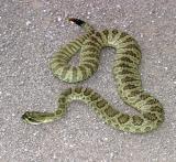 Hopi Western  Rattlesnake - Crotalus viridis nuntius