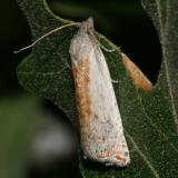 Hystrichophora sp.
