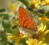 Ruddy Copper - Lycaena rubida
