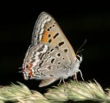 Tailed Copper - Lycaena arota
