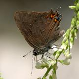 Striped Hairstreak - Satyrium liparops