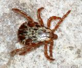 Rocky Mountain Wood Tick - Dermacentor andersoni (male)