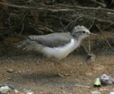 Spotted Sandpiper chick - Actitis macularia