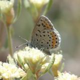 Spalding's Blue - Euphilotes spaldingi