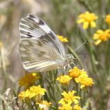 Checkered White - Pontia protodice (female)