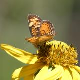 Northern Crescent - Phyciodes cocyta