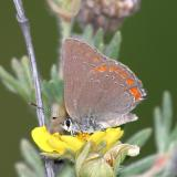 Coral Hairstreak - Satyrium titus
