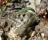 Rocky Mountain Parnassian - Parnassius smintheus (female)