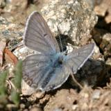 Arctic Blue - Plebejus glandon (male)