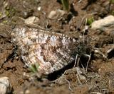 Chryxus Arctic - Oeneis chryxus