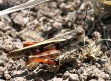 Pronotal Range Grasshopper - Cratypedes neglectus