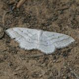 7169 - Soft-lined Wave - Scopula inductata
