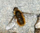 Poecilanthrax tegminipennis