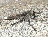 Promachus albifacies