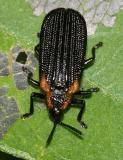 Odontota scapularis