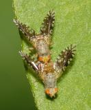 Euaresta bella (mating pair)