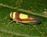 Leafhoppers - Genus Colladonus