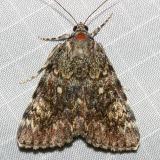 8878 - Girlfriend Underwing - Catocala amica