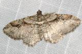 7416 -- Bent-line Carpet Moth -- Orthonoma centrostrigaria