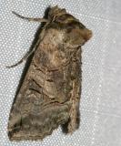 8881 -- Variegated Brindle Moth -- Abrostola urentis