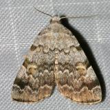 8322 -- American Idia Moth -- Idia americalis