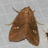10627 - Signate Quaker Moth -- Tricholita signata