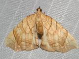 7196 - Lesser Grapevine Looper Moth - Eulithis diversilineata
