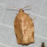 3635 - Oblique-banded Leafroller Moth - Choristoneura rosaceana