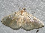 5241 - Basswood Leafroller Moth -- Pantographa limata
