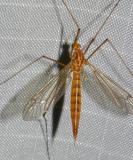 Tiger Crane Fly (female) Nephrotoma sp.