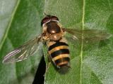 Epistrophe grossulariae (female)