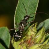 Alydus eurinus (nymph)