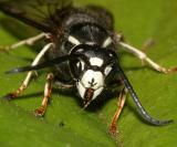 Vespula consobrina (male Blackjacket)