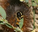 8131 - Salt Marsh Moth - Estigmene acrea
