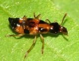 Oxyporus quinquemaculatus