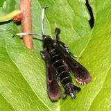 2532 -- Virginia Creeper Clearwing Moth -- Albuna fraxini (female)