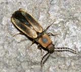 Megapenthes limbalis