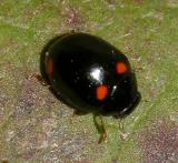 Brachiacantha quadripunctata (female)